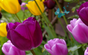 Purple and Yellow Tulips