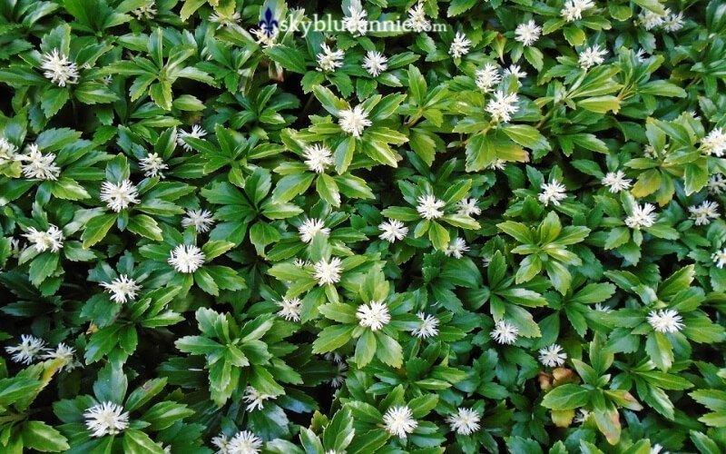 Pachysandra. Perennial Gardens -- Kaleidoscopes YOU Design. SKYBLUEANNIE.com