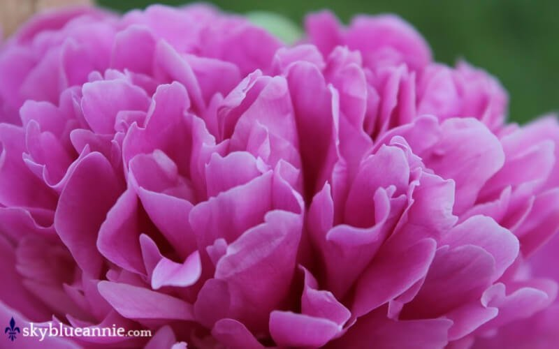 Pink Peony close-up. Perennial Gardens - Kaleidoscopes YOU Design! SKYBLUEANNIE.com