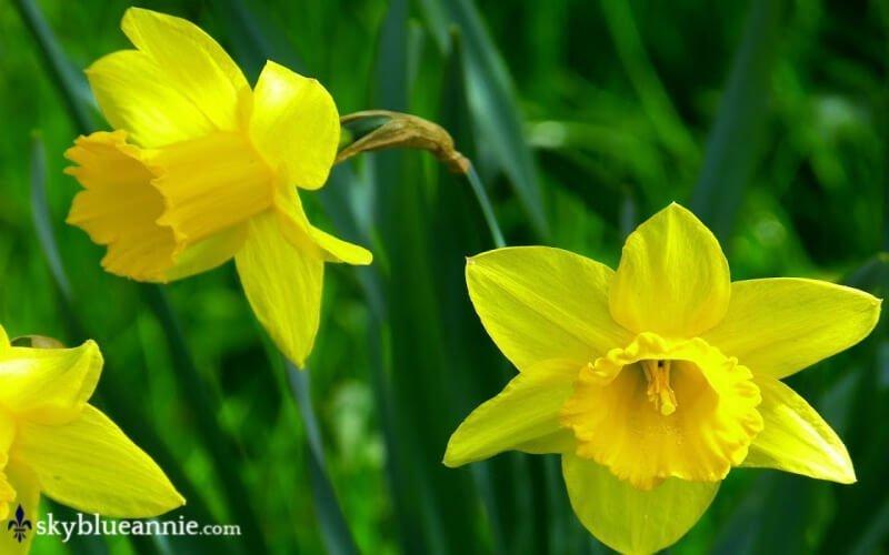 Yellow Daffodils. Perennial Gardens - Kaleidoscopes YOU Design! SKYBLUEANNIE.com