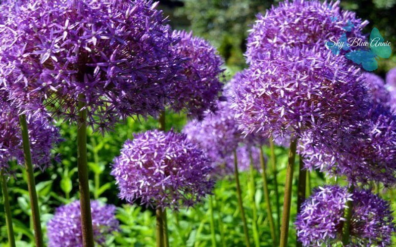 Purple Drumstick Allium