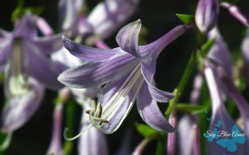 Light Purple Hosta Flowers