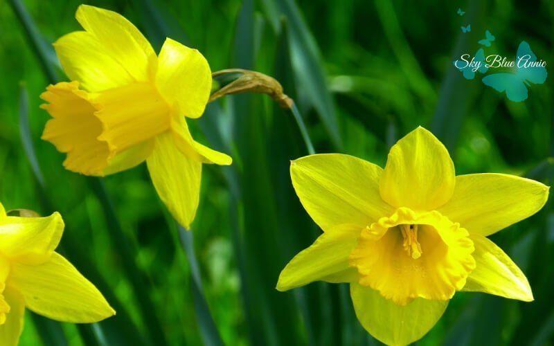 Heralding Yellow Daffodils